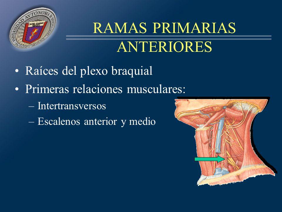 RAMAS PRIMARIAS ANTERIORES