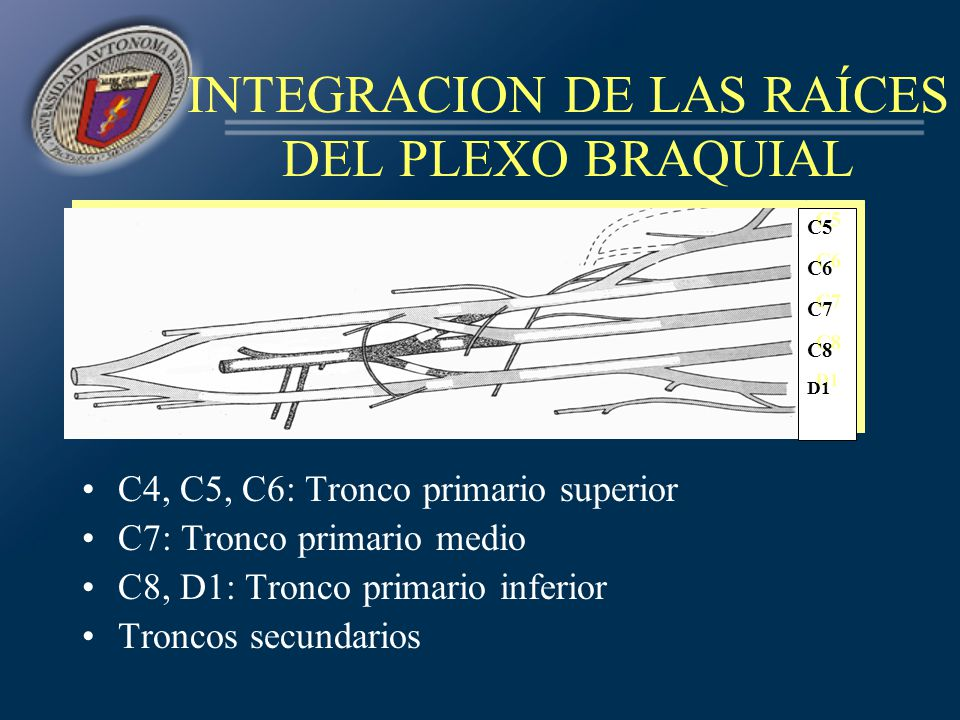 INTEGRACION DE LAS RAÍCES DEL PLEXO BRAQUIAL