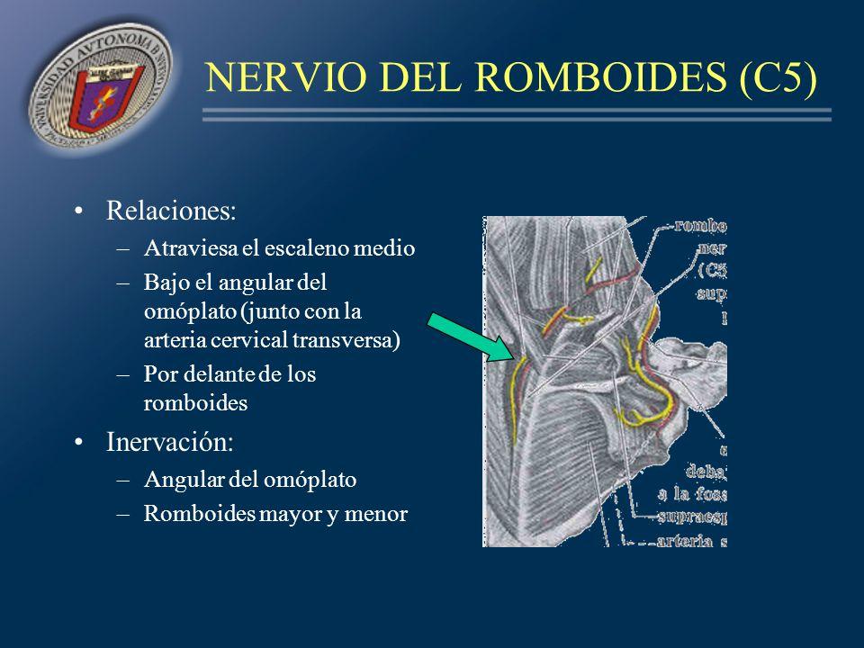NERVIO DEL ROMBOIDES (C5)