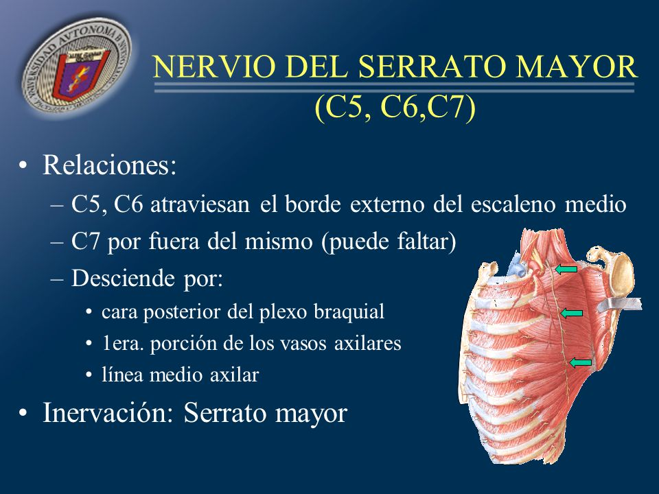 NERVIO DEL SERRATO MAYOR (C5, C6,C7)