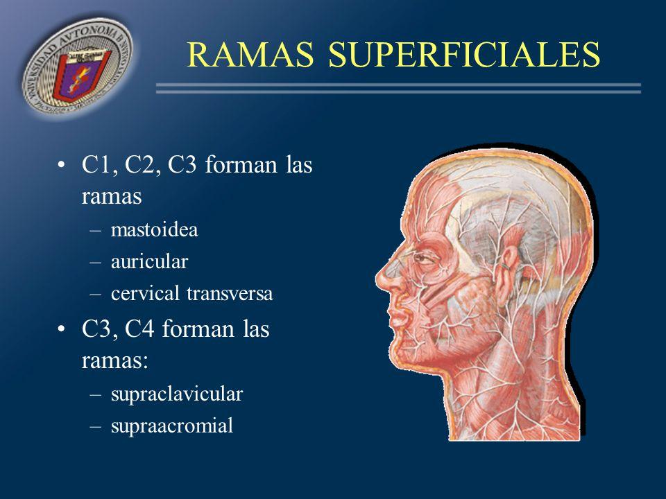 RAMAS SUPERFICIALES C1, C2, C3 forman las ramas