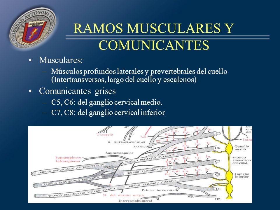 RAMOS MUSCULARES Y COMUNICANTES