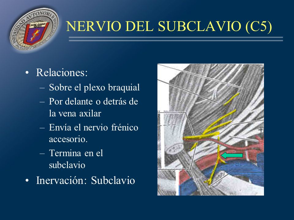 NERVIO DEL SUBCLAVIO (C5)