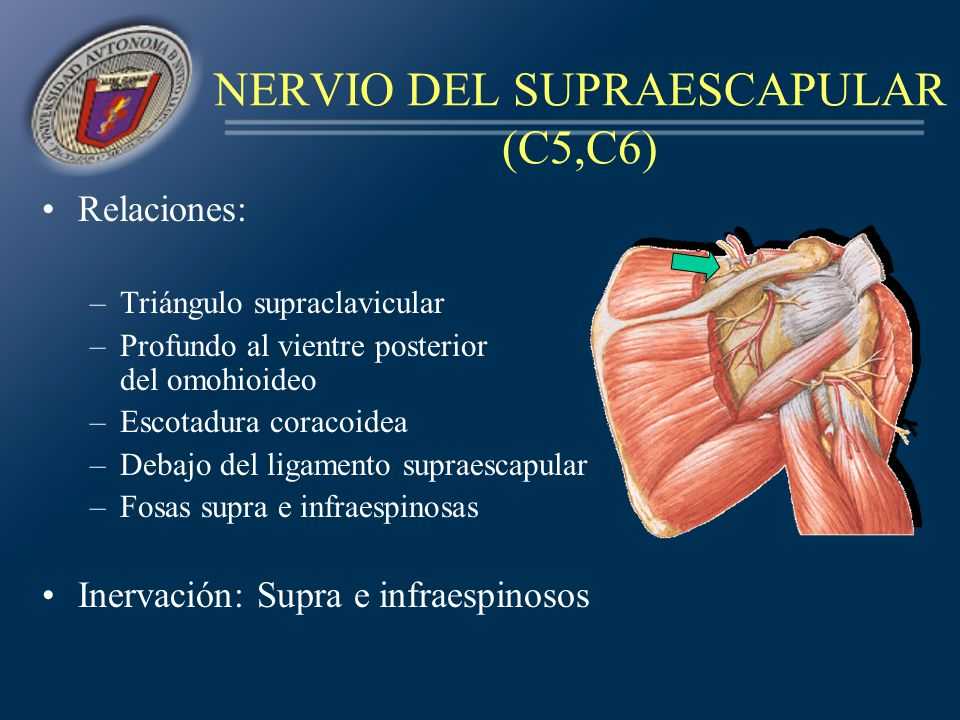NERVIO DEL SUPRAESCAPULAR (C5,C6)