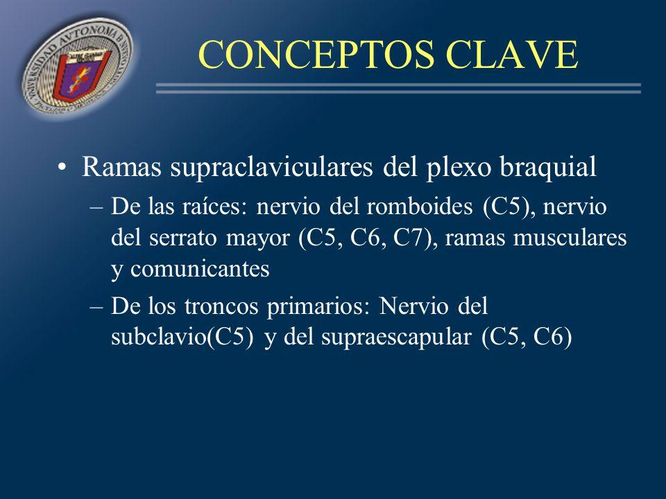 CONCEPTOS CLAVE Ramas supraclaviculares del plexo braquial