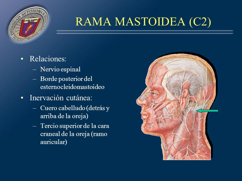 RAMA MASTOIDEA (C2) Relaciones: Inervación cutánea: Nervio espinal