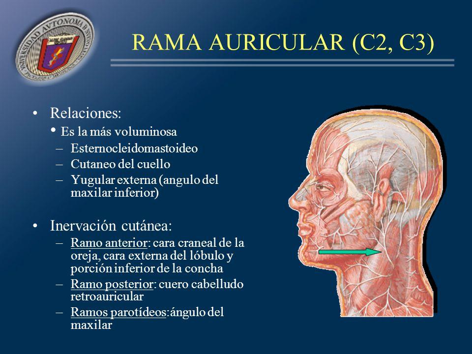 RAMA AURICULAR (C2, C3) Relaciones: • Es la más voluminosa