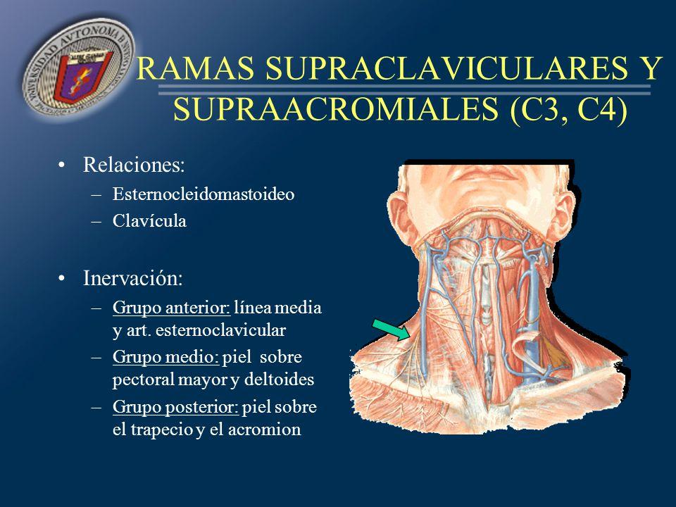 RAMAS SUPRACLAVICULARES Y SUPRAACROMIALES (C3, C4)