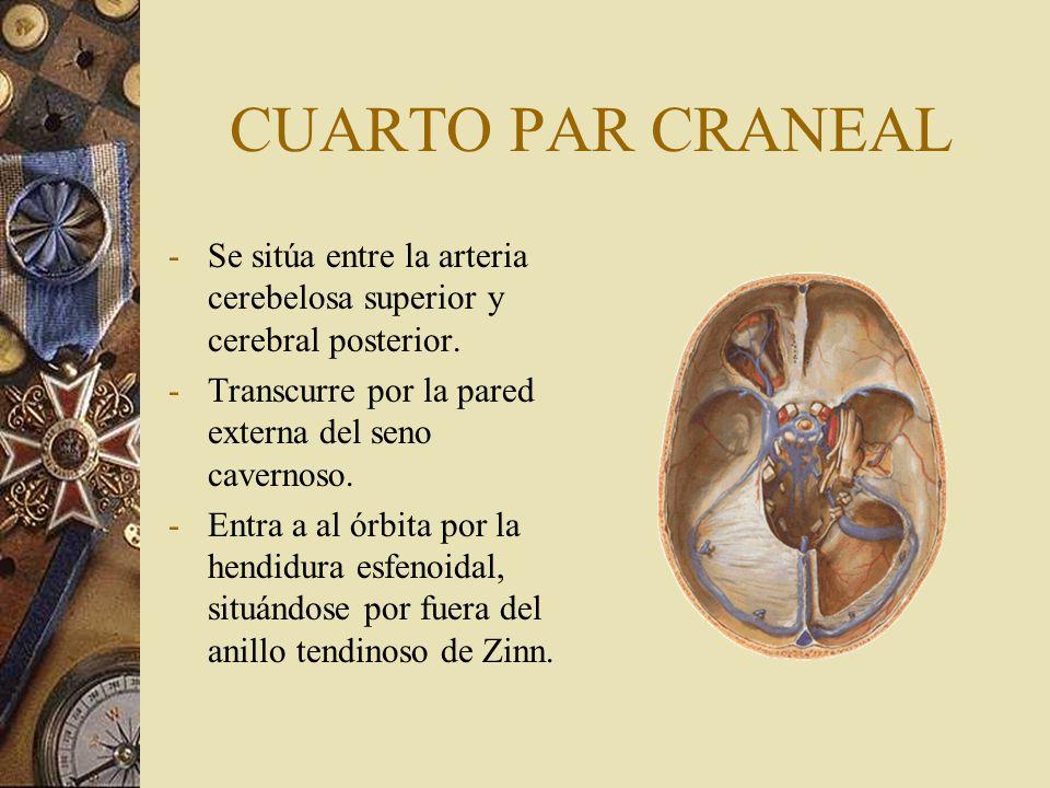 CUARTO PAR CRANEAL Se sitúa entre la arteria cerebelosa superior y cerebral posterior. Transcurre por la pared externa del seno cavernoso.