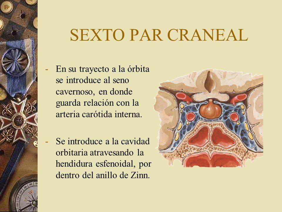 SEXTO PAR CRANEAL En su trayecto a la órbita se introduce al seno cavernoso, en donde guarda relación con la arteria carótida interna.