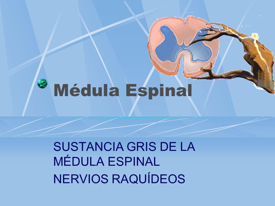 SUSTANCIA GRIS DE LA MÉDULA ESPINAL NERVIOS RAQUÍDEOS