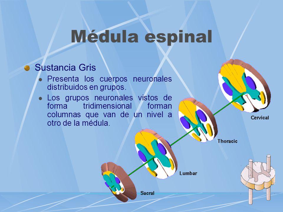 Médula espinal Sustancia Gris