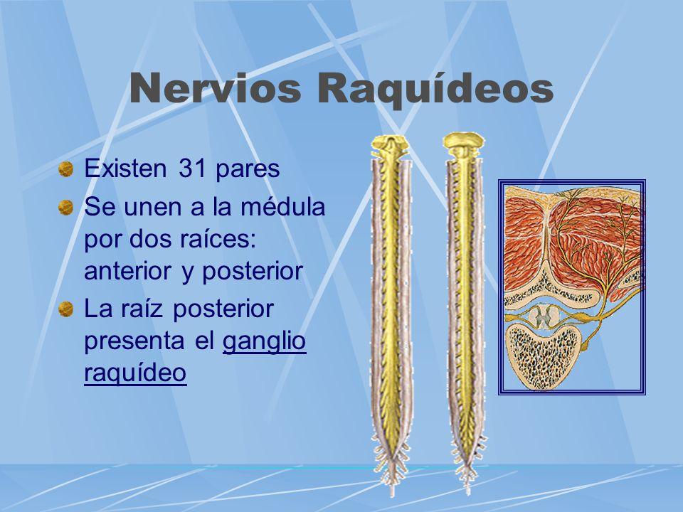 Nervios Raquídeos Existen 31 pares