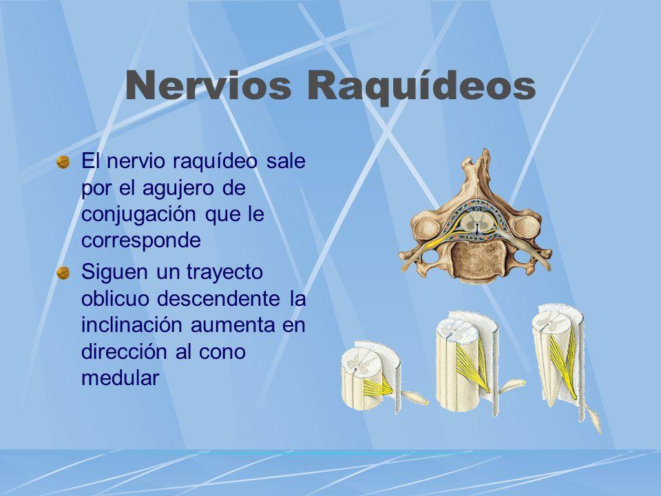 Nervios Raquídeos El nervio raquídeo sale por el agujero de conjugación que le corresponde.