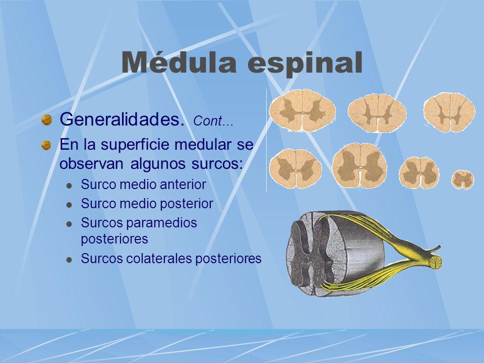 Médula espinal Generalidades. Cont...