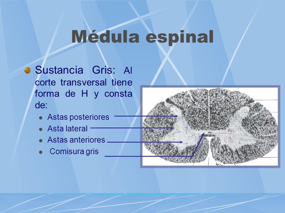 Médula espinal Sustancia Gris: Al corte transversal tiene forma de H y consta de: Astas posteriores.