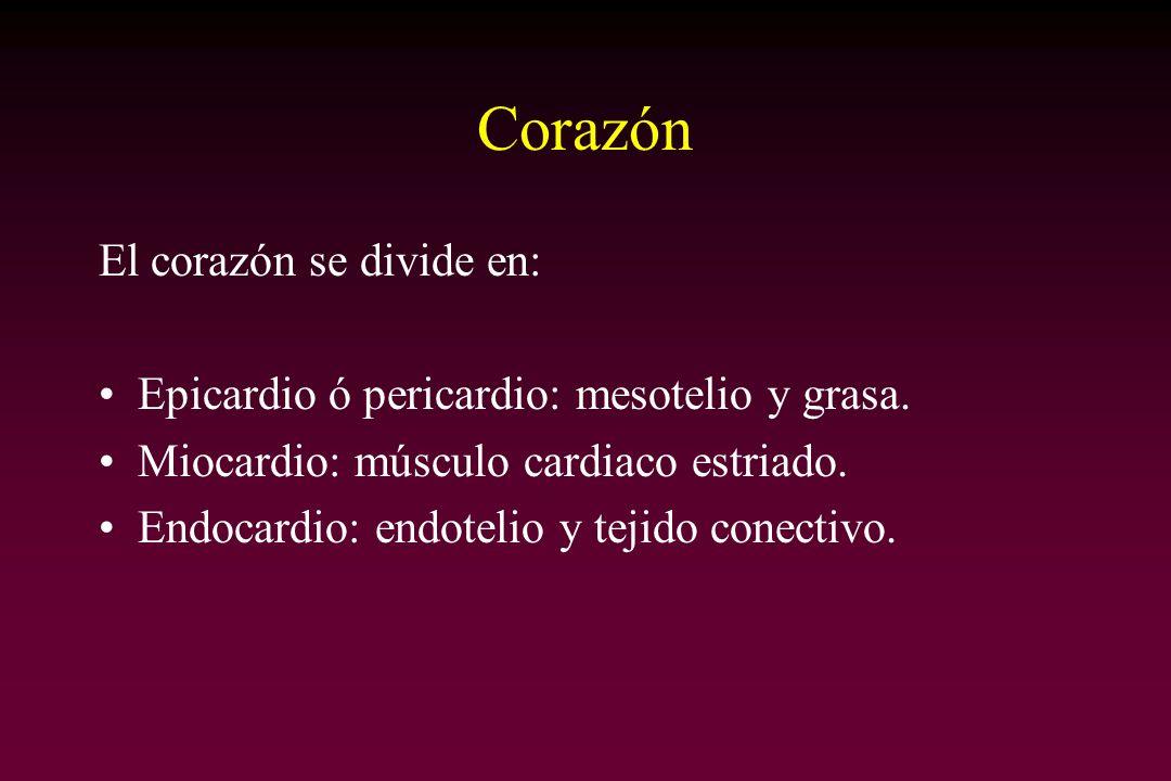 Corazón El corazón se divide en: