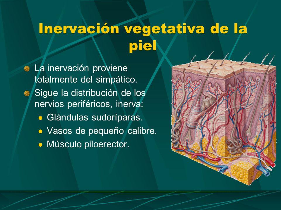 Inervación vegetativa de la piel