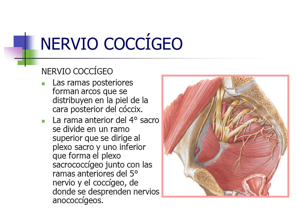 NERVIO COCCÍGEO NERVIO COCCÍGEO