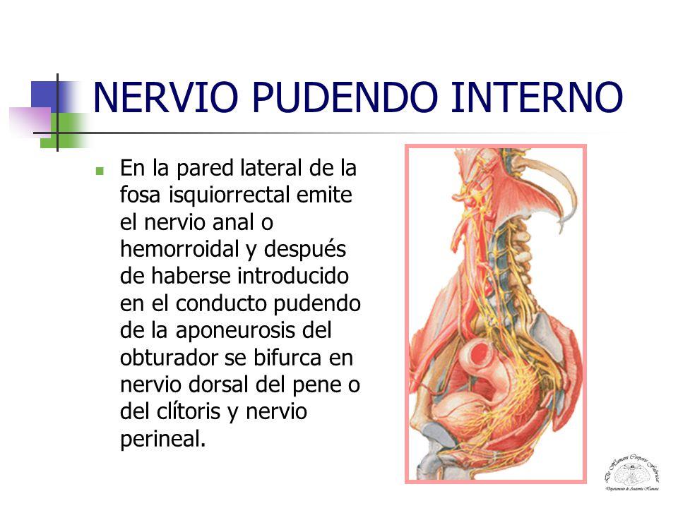 Dorable Nervio Pudendo Anatomía Femenina Composición - Anatomía de ...