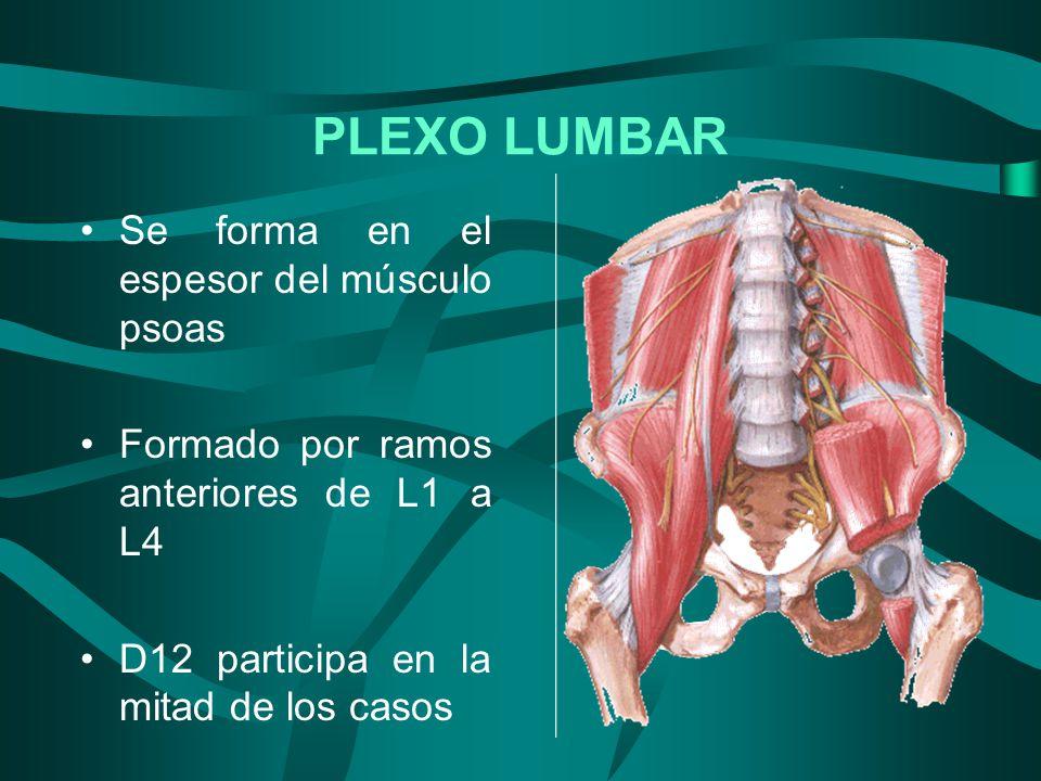 PLEXO LUMBAR Se forma en el espesor del músculo psoas