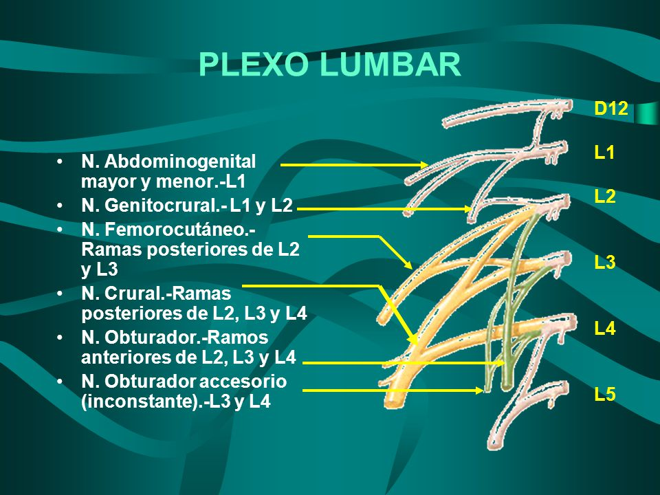 PLEXO LUMBAR D12 L1 L2 N. Abdominogenital mayor y menor.-L1