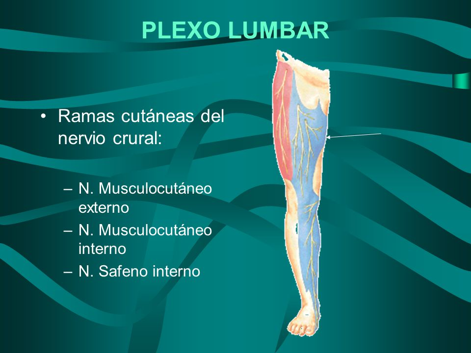 PLEXO LUMBAR Ramas cutáneas del nervio crural: