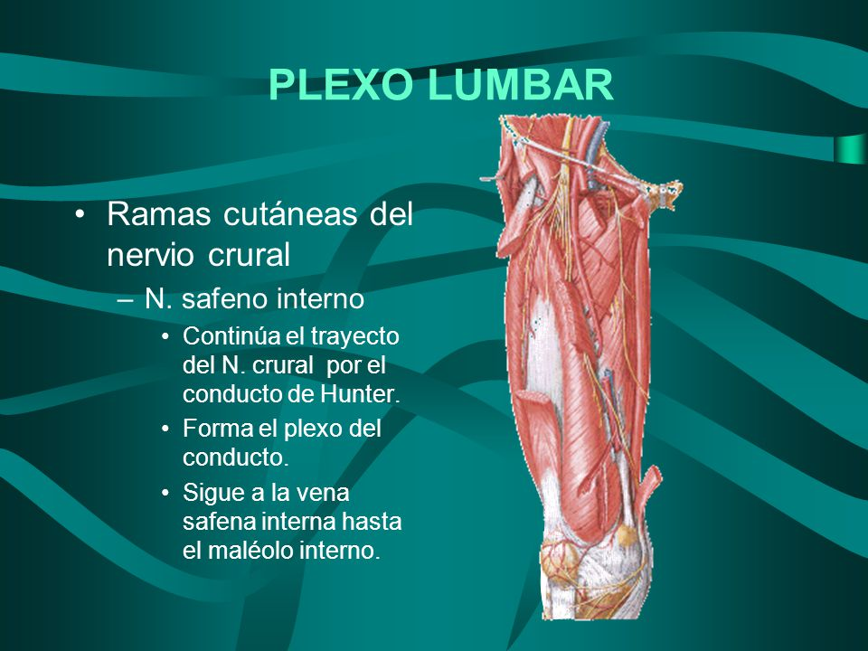 PLEXO LUMBAR Ramas cutáneas del nervio crural N. safeno interno
