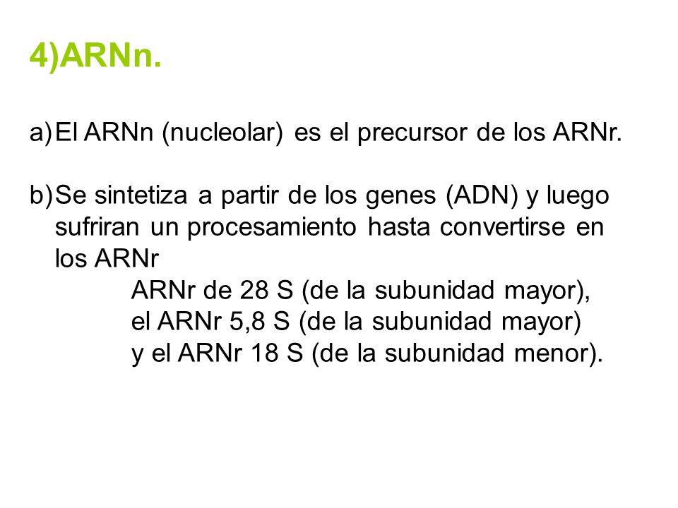 4)ARNn. El ARNn (nucleolar) es el precursor de los ARNr.