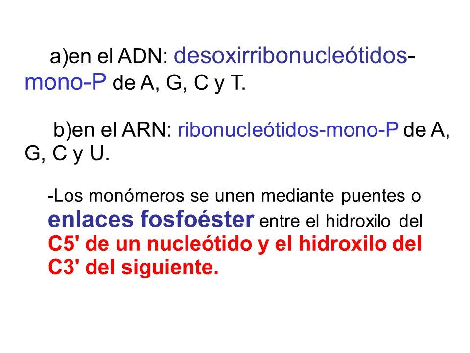 b)en el ARN: ribonucleótidos-mono-P de A, G, C y U.