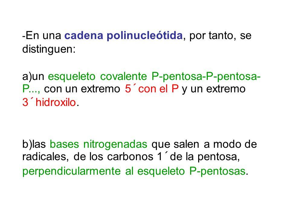 -En una cadena polinucleótida, por tanto, se distinguen:
