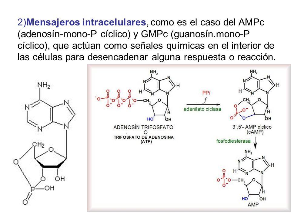2)Mensajeros intracelulares, como es el caso del AMPc (adenosín-mono-P cíclico) y GMPc (guanosín.mono-P cíclico), que actúan como señales químicas en el interior de las células para desencadenar alguna respuesta o reacción.