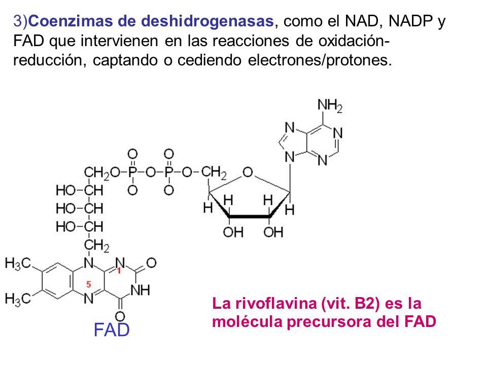 3)Coenzimas de deshidrogenasas, como el NAD, NADP y FAD que intervienen en las reacciones de oxidación-reducción, captando o cediendo electrones/protones.