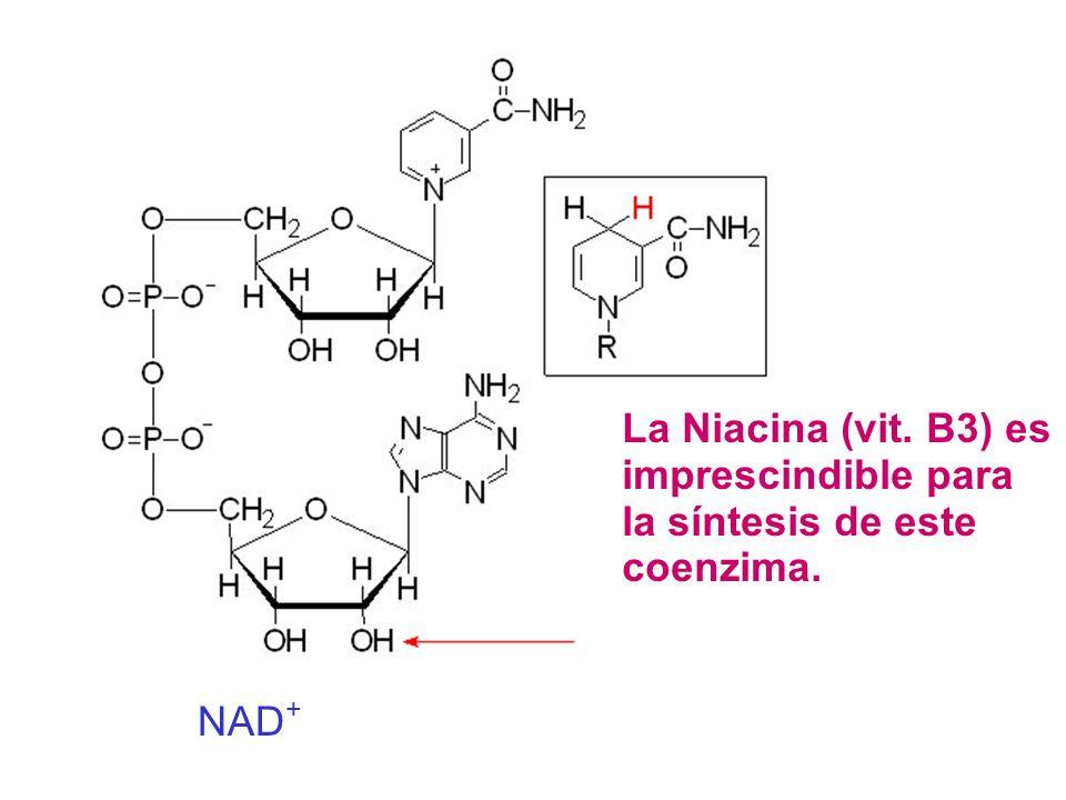 La Niacina (vit. B3) es imprescindible para la síntesis de este coenzima.