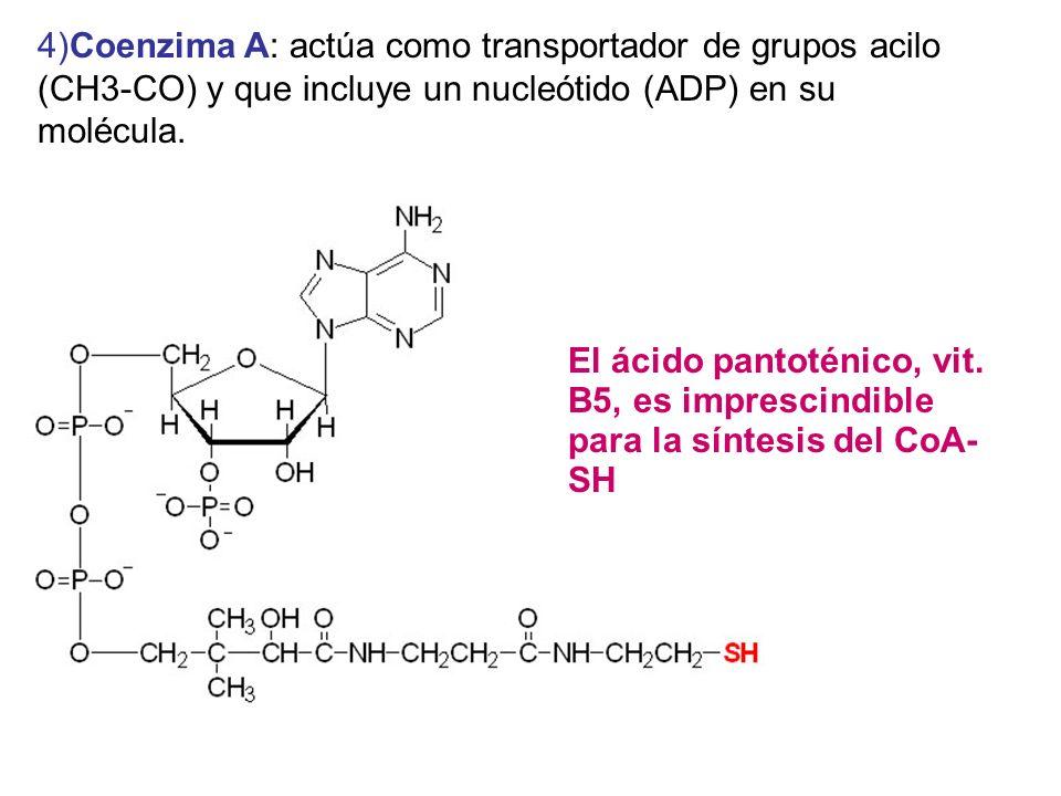 4)Coenzima A: actúa como transportador de grupos acilo (CH3-CO) y que incluye un nucleótido (ADP) en su molécula.
