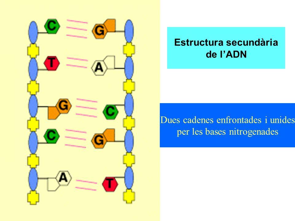 Estructura secundària de l'ADN