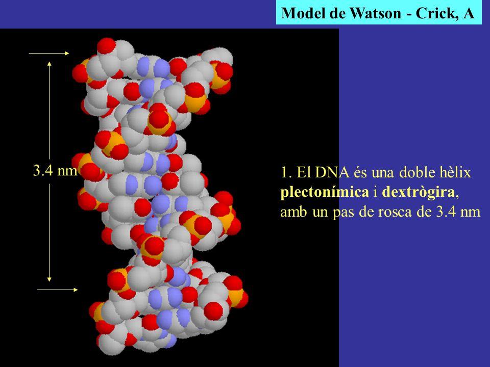 Model de Watson - Crick, A