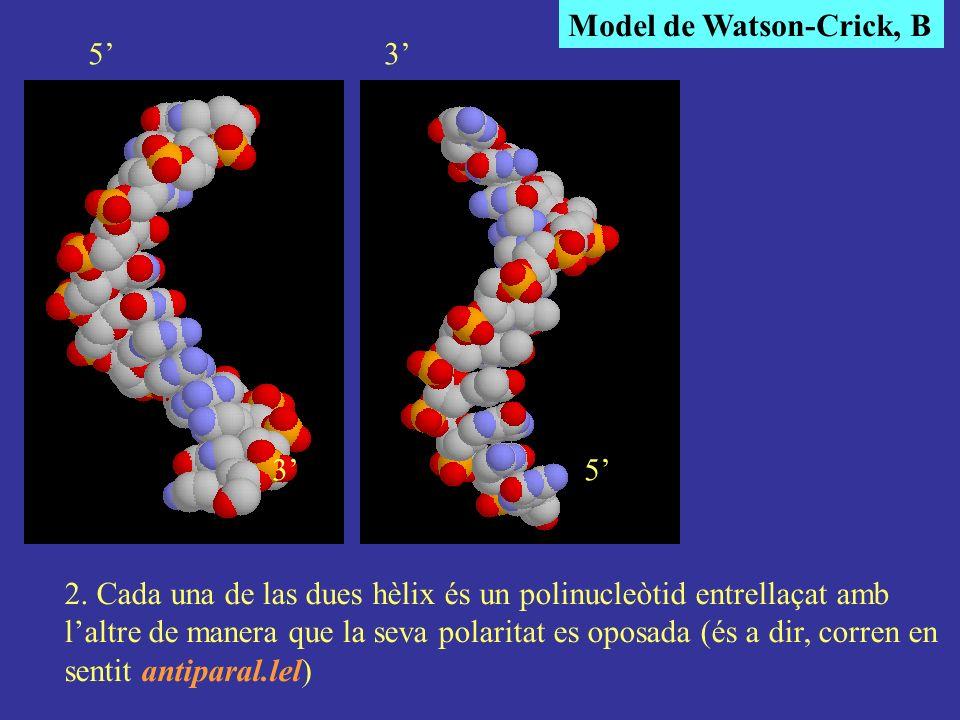 Model de Watson-Crick, B