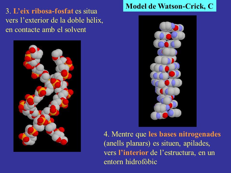 Model de Watson-Crick, C