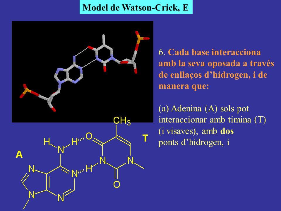 Model de Watson-Crick, E