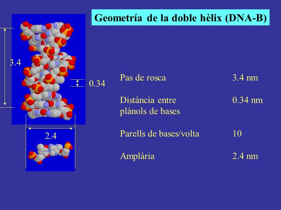 Geometría de la doble hèlix (DNA-B)
