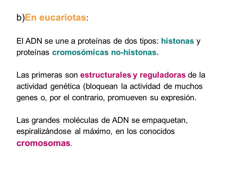 b)En eucariotas: El ADN se une a proteínas de dos tipos: histonas y proteínas cromosómicas no-histonas.