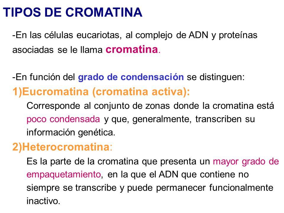 TIPOS DE CROMATINA 1)Eucromatina (cromatina activa):