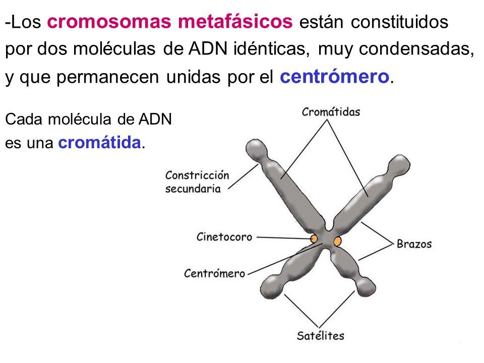 -Los cromosomas metafásicos están constituidos por dos moléculas de ADN idénticas, muy condensadas, y que permanecen unidas por el centrómero.