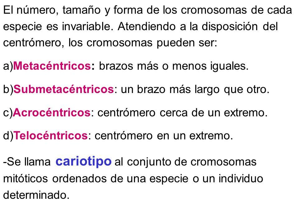 El número, tamaño y forma de los cromosomas de cada especie es invariable. Atendiendo a la disposición del centrómero, los cromosomas pueden ser: