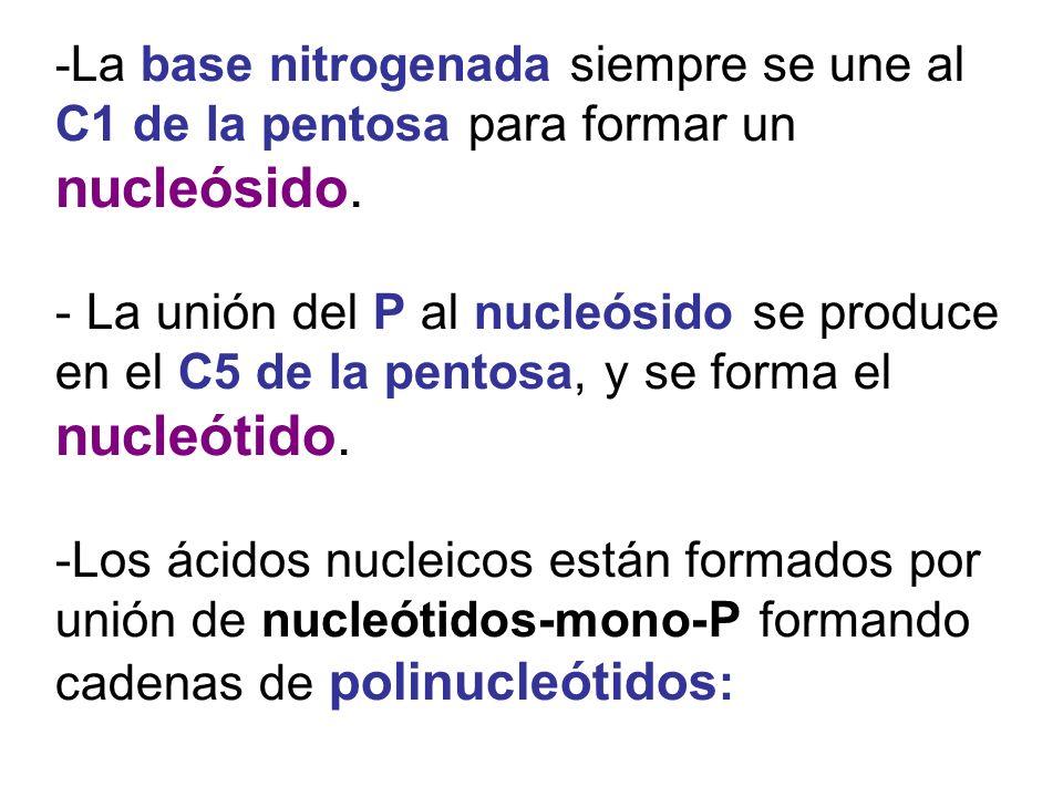 -La base nitrogenada siempre se une al C1 de la pentosa para formar un nucleósido.