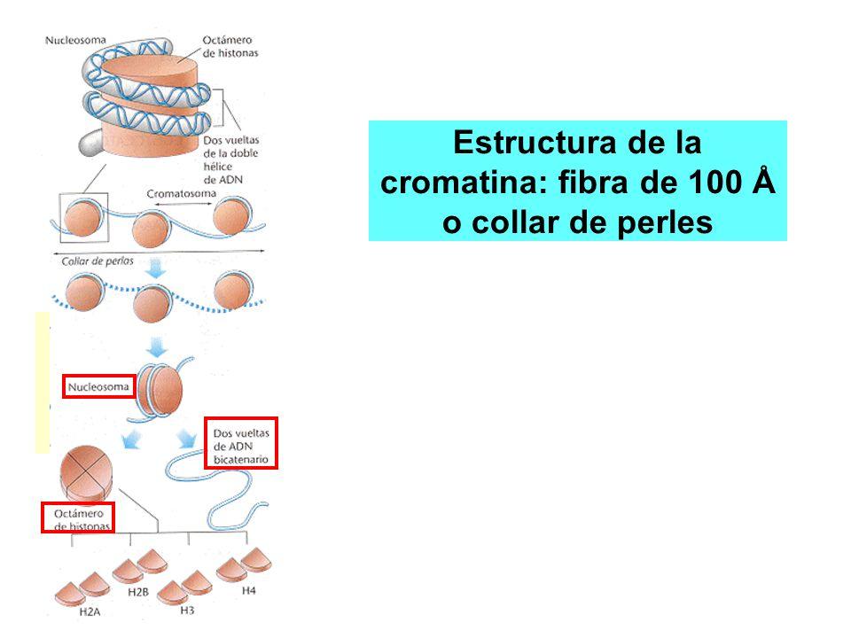 Estructura de la cromatina: fibra de 100 Å o collar de perles