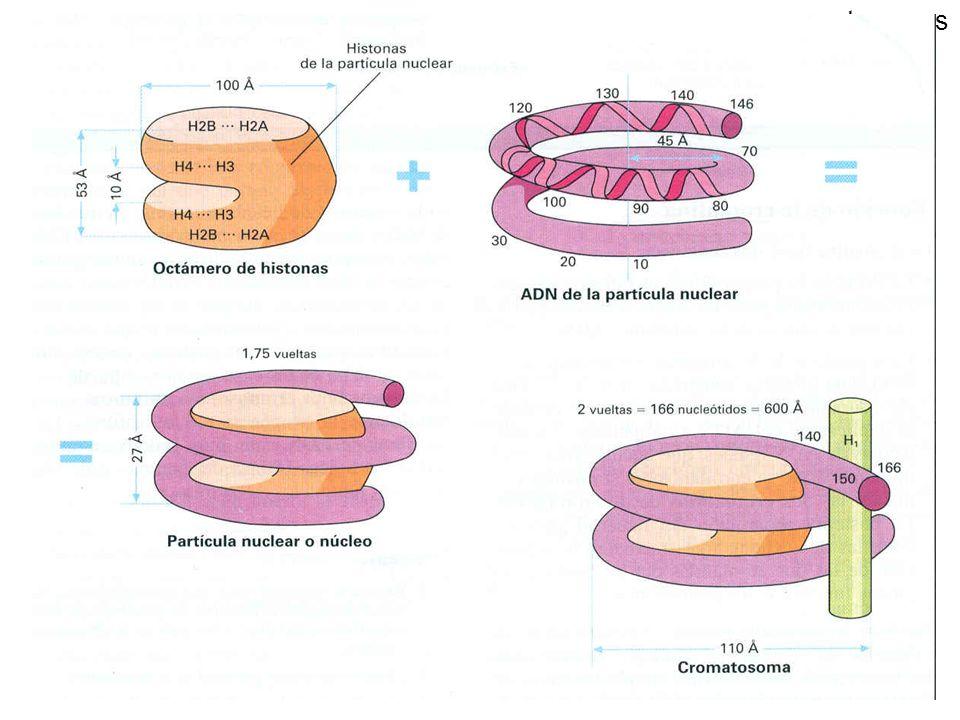 cromatosomes