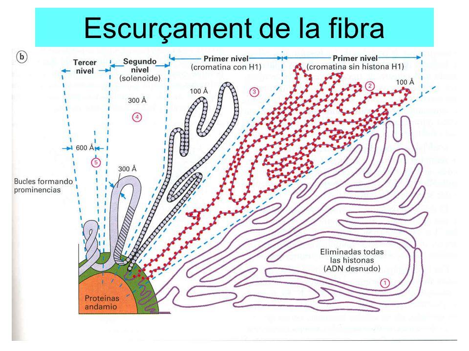 Escurçament de la fibra