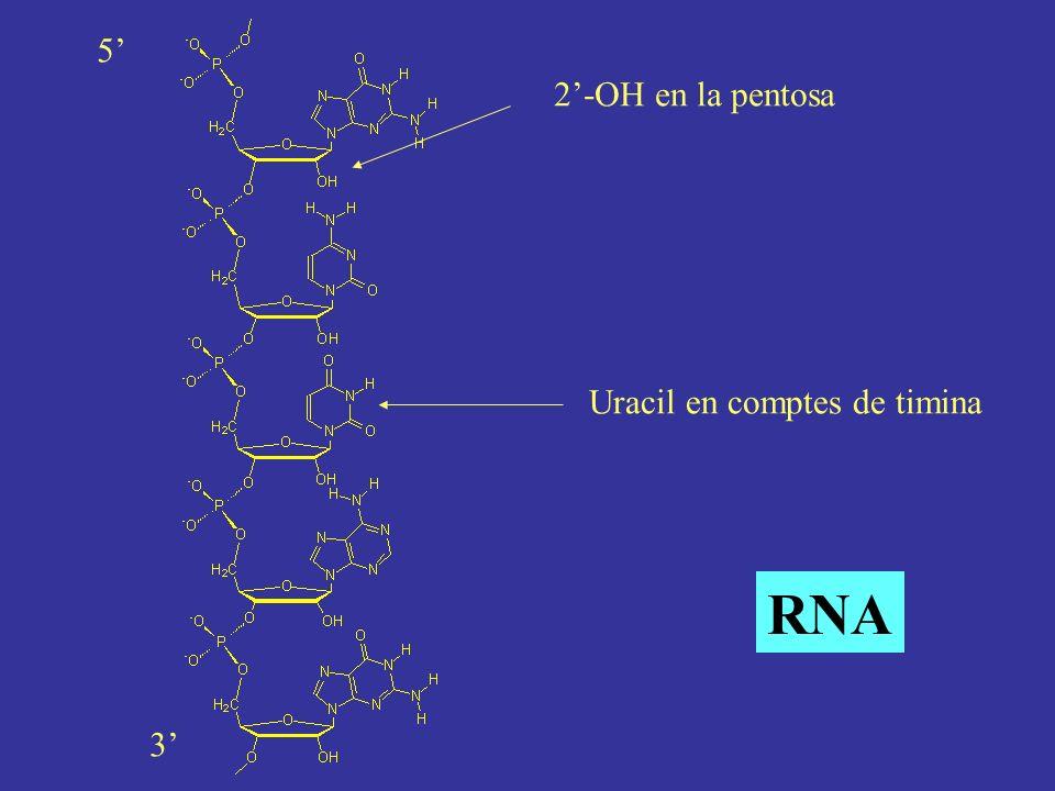 5' 2'-OH en la pentosa Uracil en comptes de timina RNA 3'